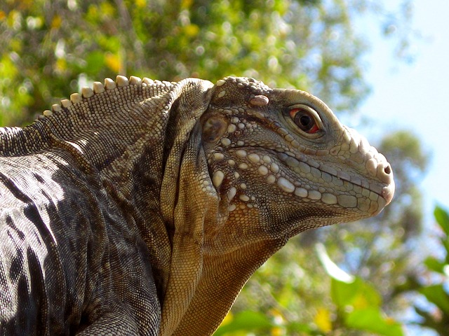 ještěrka iguana