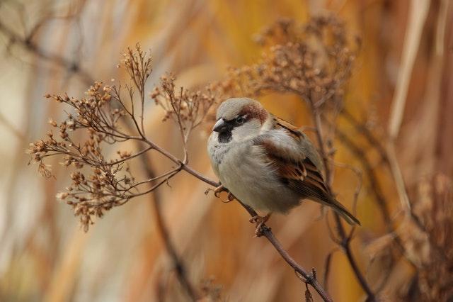 Vrabec sedí na vysušenej rastline.jpg